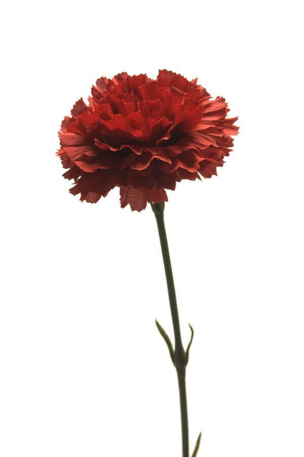 Anjer rood 55cm