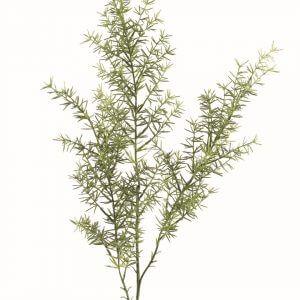 Asparagus 60cm