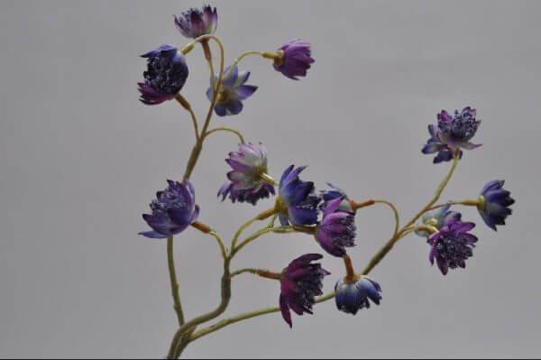 Astrasia lila