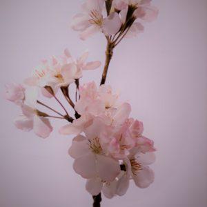 Bloesemtak wit-roze 36 cm