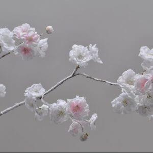 Bloesemtak wit roze 84cm