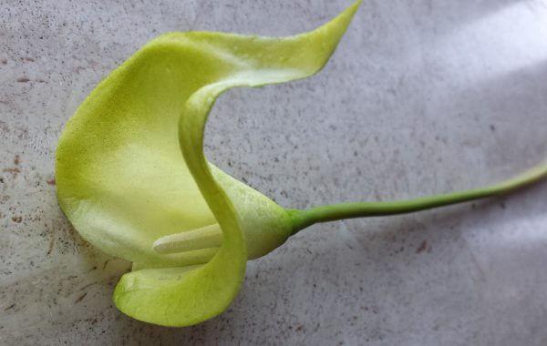 Calla groen geel