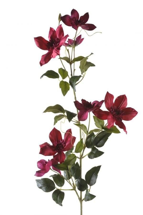 Clematis Fuchsia 95cm