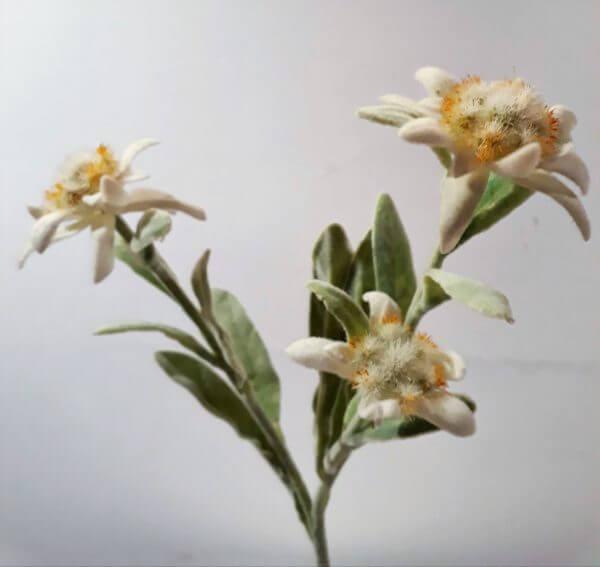 Edelweiss 30 cm