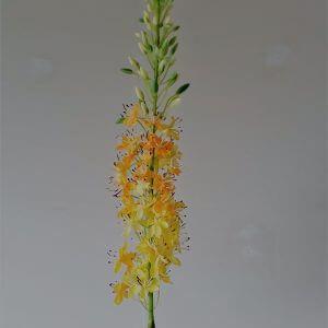 Eremus geel 106 cm