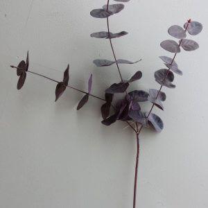 Eucalypthus bladtak rood