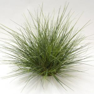 Grass Bush Union 36cm