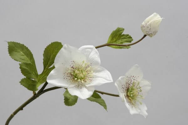 Helleborus spray cream