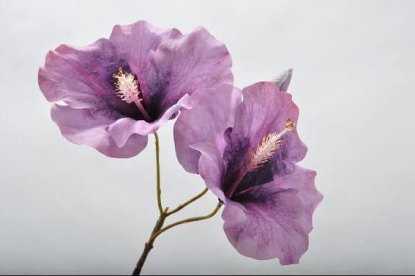 Hibiscus lila
