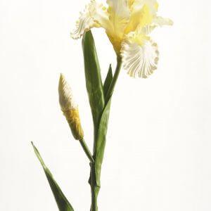 Iris creme 80cm
