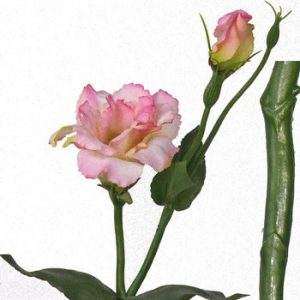 Lysianthus licht roze 40cm