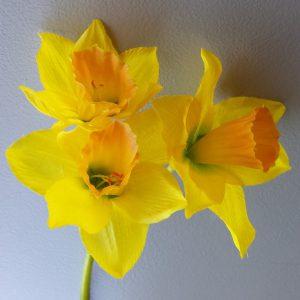 Narcis geel