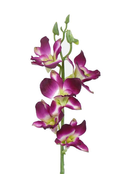 Orchidee Renantanda 40 cm