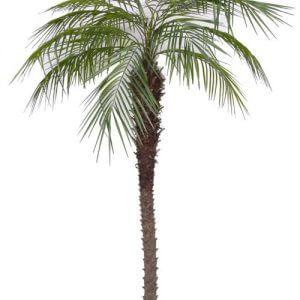 Palm Phoenix 240cm