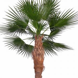 Palm Washington 240cm