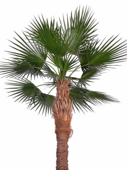 Palm Washington 240cm