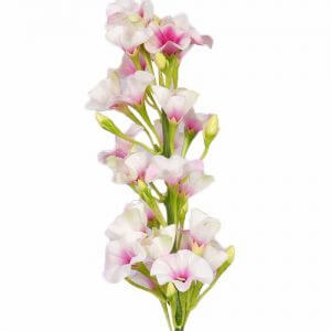 Phlox wit-roze 35 cm