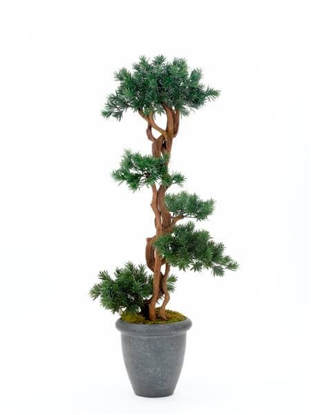 Podocarpus Liana 170cm