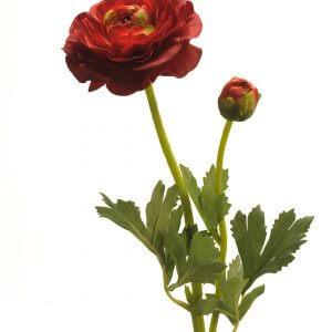 Ranonkel rood 48cm