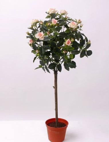 Rozenboom roze 67cm