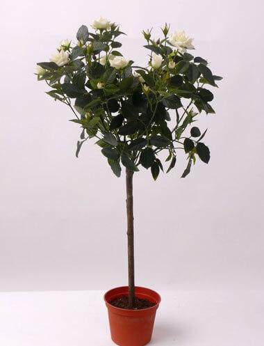 Rozenboom wit 67cm