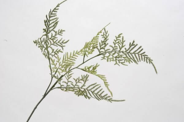 Varentak Asparagus 58cm